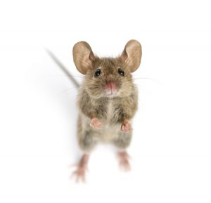 Some People Still Die From The Plague | Tucson Rodent Control Experts