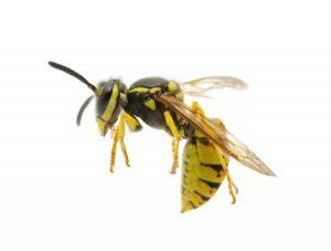 12365423 - wasp isolated on white background