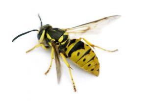 Tucson Yellow Jacket Exterminator