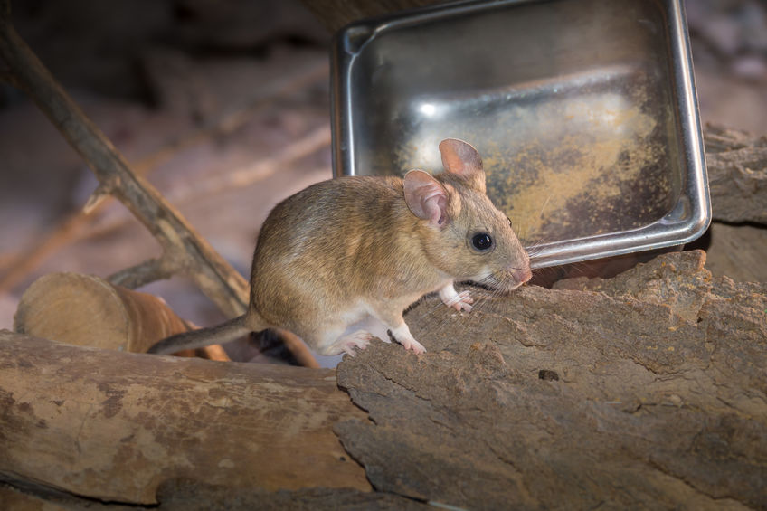 Pack Rat Control Tips